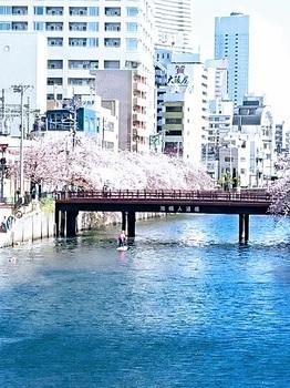 6桜散る.jpg