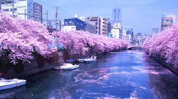 ookagawa-sakura01.jpg